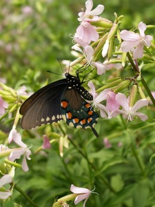 Wild_Pink__Silene_caroliniana__with_swallowtail
