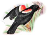 Red-Winged_Blackbird