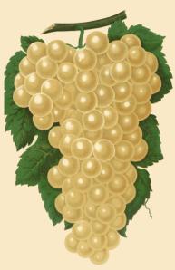 diamond-white-grapes