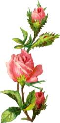 pink-rose-design