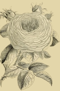 rose-with-buds