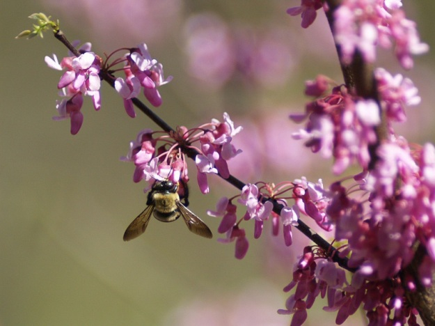 Redbud_Tree__Cercis_canadensis__with_bee