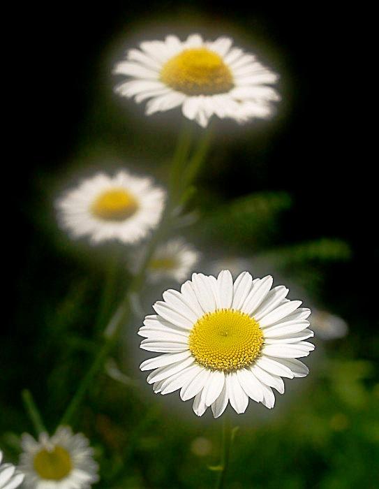 Oxeye_Daisy__Chrysanthemum_leucanthemum