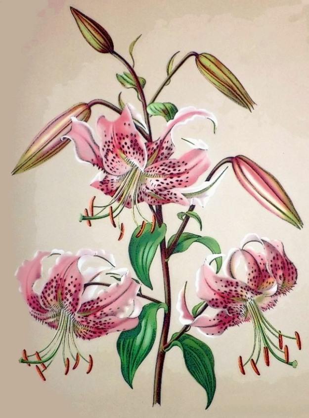 Japanese_Lily__Lilium_speciosum_var_rubrum