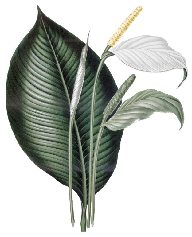 Peace_Lily_plate