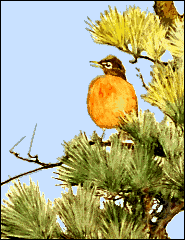 robin_in_pine