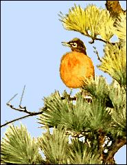 robin_in_pine