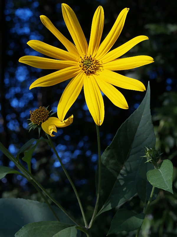 Woodland_Sunflower__Helianthus_divaricatus