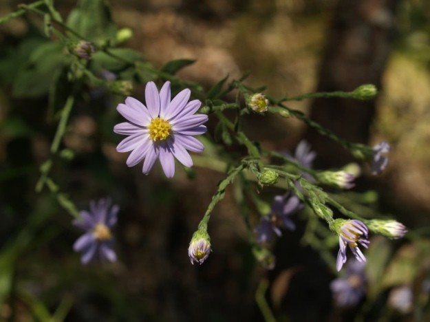 Late_Purple_Aster