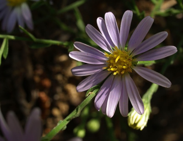 Late_Purple_Aster__Aster_patens